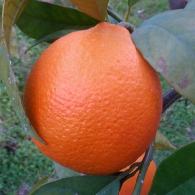 Arancia Rossa Tarocco